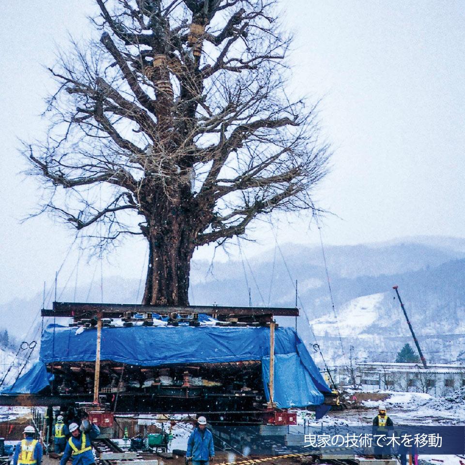 曳家の技術で木を移動